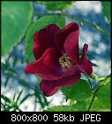 -rose_005_20170803.jpg