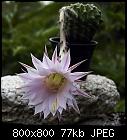 echinopsis flower-echinopsis_20170805a.jpg