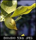 -citrus_limon_20170721.jpg