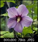 -hibiscus_syriacus_b_20170830.jpg