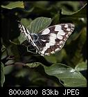 Marbled White-melanargia_galathea_20170823.jpg