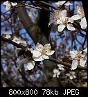 cherry plum flowers-prunus_cerasifera_20180410-1.jpg