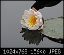 -water-lily-05506.jpg