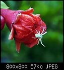 itsy bitsy (flower crab) spider-punica_granatum_20180702.jpg