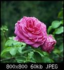 rose remontant-rose_bushrose_20180908.jpg