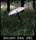 parasol mushroom-pilz_macrolepiota_procera_20180913-2.jpg