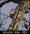 woodpecker visiting-dendrocopos_major_20181105-0.jpg