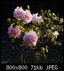 november rose-rose_spar_20181117.jpg