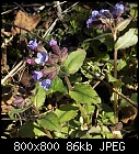 common lungwort-pulmonaria_officinalis_20190321.jpg