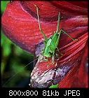 grasshopper at aged amaryllis-flower-tettigonia_viridissima_20190627.jpg