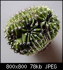 baby echinopsis: crestation or just head-split-echinopsis_cristatum_20191204.jpg