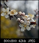 cherry-plum flowers on a rainy day-prunus_cerasifera_20200321-1.jpg