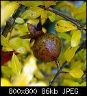 first pomgranate ever-punica_granatum_20201012.jpg