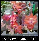 Epiphytic Cactus-epiphyticcactus-pinkorangegerry-03987.jpg
