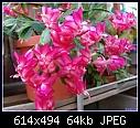 -epiphytic-cactus-pinkdsc04016.jpg