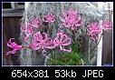 -nerine-filamentosa-dsc04009.jpg