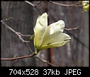 "Plant ID Req  Magnolia species? - ""P4130056s.JPG"" 37.6 KBytes yEnc-p4130056s.jpg"