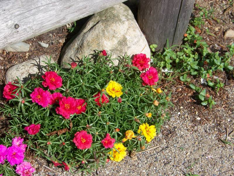 http://www.gardenbanter.co.uk/attachments/garden-photos/6543d1184776079-portulaca-success-portulaca2.jpg