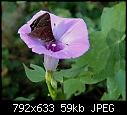 A couple of my recent pictures-butterflybindweed.jpg