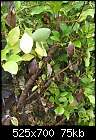 Griselinia littoralis Hedge problem.-hedge-001e.jpg