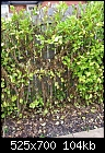 Griselinia littoralis Hedge problem.-hedge-002e.jpg
