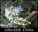 Mystery Tree with Purple Berries-photo-0079.jpg