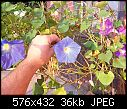 Morning Glories - Wedding Bells X Flying Saucers!-wbxfs.jpg