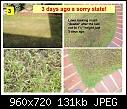 New Turf Lawn Dying? - Help please-badgrass_3.jpg