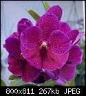 My Vanda Pat Delight-2nd post try?-v-pat-delight-1294-02495.jpg