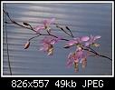 -barkeria-dorotheae-1607-02618.jpg