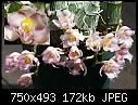 First bloom - catasetumrebeccanorthen.jpg (1/1) [173K]-catasetumrebeccanorthen.jpg
