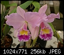 Blc Shot Silk X posted to orchids pictures-blc-shot-silk-1980-02924.jpg