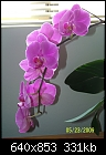 Uncle Vito's Phals 2-phal-ruey-lih-candy-x-talsuco-roseherz-2.jpg