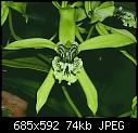 greenday#2: Coelogyne pandurata-coelogynepandurata0509.jpg