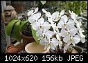 -phal-amabilis-var.grandiflora-1444-03100.jpg