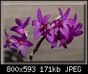 D. crepidiferum - 06-13.jpg (1/1) [171K]-06-13.jpg