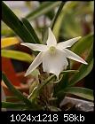 Angraecum Lemforde White Beauty-angcm-lemfordewhitebeauty-980-03188.jpg