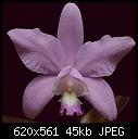 Cattleya dolosa-dolosa1.jpg