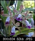 -c-intermedia-aquinii-x-enc-phoenicea-1603-03197.jpg