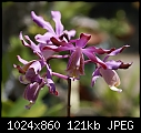 -myrmecophila-tibicinis-406-03238.jpg