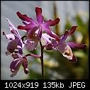 -myrmecophila-tibicinis-406-03239.jpg