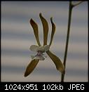 Enc. guatemelensis-enc-guatemelensis-1689-03231.jpg
