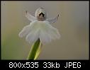 Gynorkis fastigiata-dsc_4854_erdorchidee_cynorkis_fastigiata.jpg