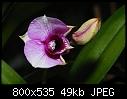 Dendrobium phalaenopsis-dsc_5453_dendrobium_phal_bluete.jpg