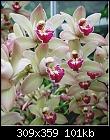Cymbidium Orchids-pink_cymbidiyum.jpg