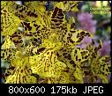 Odontocidium Golden Trident-odontocidium-golden-trident-2.jpg