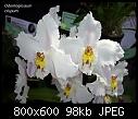 Odontoglossum crispum X 2-odontoglossum-crispum-1.jpg