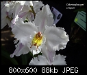 Odontoglossum crispum X 2-odontoglossum-crispum-2.jpg