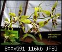 Odontoglossum polyxantha 1-odontoglossum-polyxantha-1.jpg
