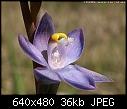 -thelymitra_holmesii_tirhatuan061118-0153.jpg